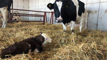 3 effective ways of controlling Johne's disease this calving season