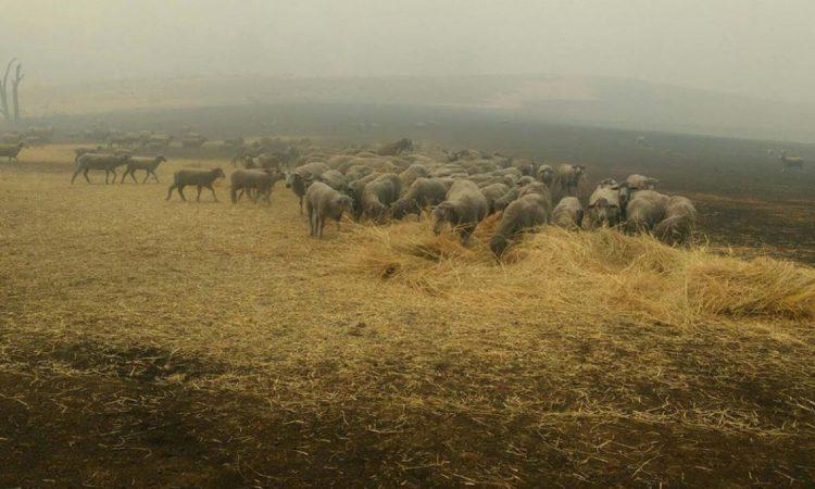 Sheep dog saves flock from wildfire blazes in Australia