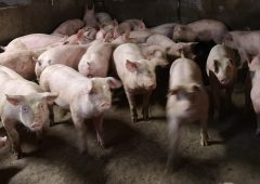 NI pig farm protest: Taken pig was 'held to ransom'