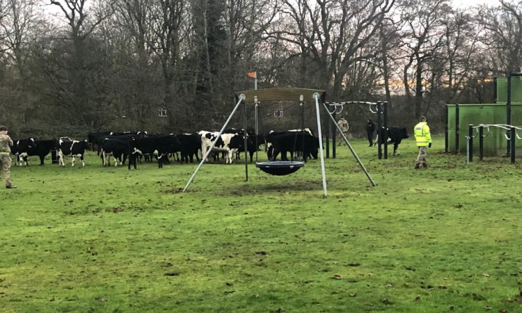 Bovine brigade: Herd of heifers 'invades' area of rural RAF base