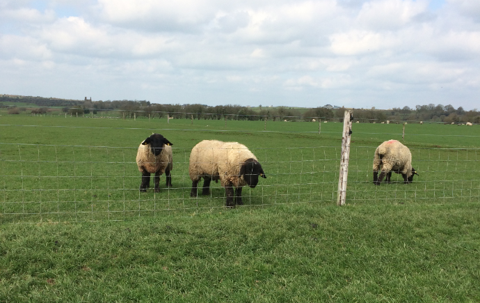 How to manage your rams after the breeding season