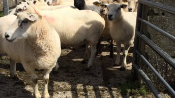 Appeal for 'stolen' flock owners after 63 sheep seized in Yorkshire