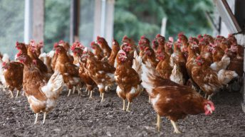 Poultry and backyard flock owners urged to be vigilant of bird flu