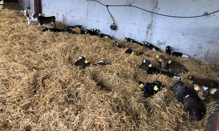 4 simple steps to avoiding a scour outbreak as calf numbers grow