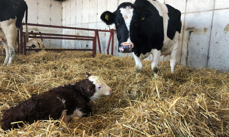 Avoid getting up during the night this calving season; here's how…