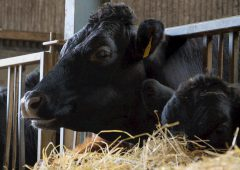 Angus quality bonus 'worth up to 20c/kg' on in-spec animals