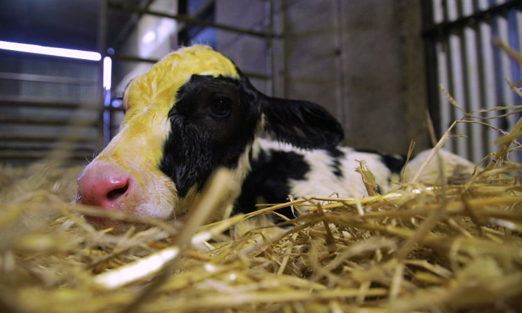 Video: Testing the quality of colostrum and top tips when stomach tubing a newborn calf