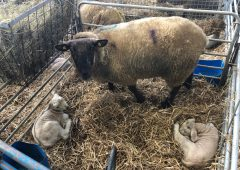 How much colostrum does a newborn lamb require?