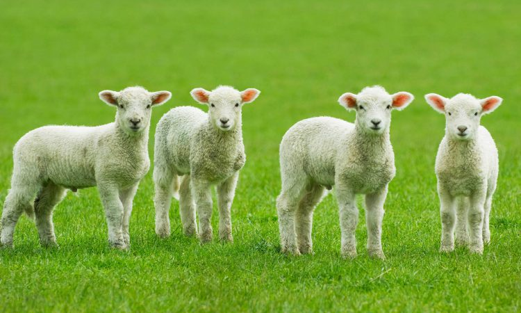 'Ewe protein levels important for neonatal survival' – QMS