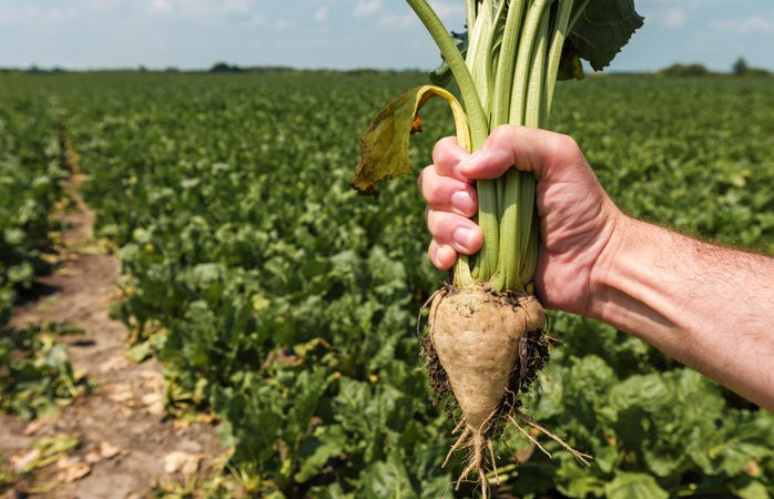 Sugar beet could make return to Scotland after almost 50 years