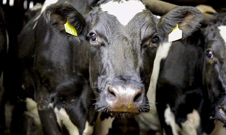 DNA evidence used to prove farmer stole neighbour's cow