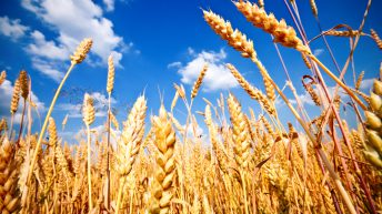 Grain price: Wheat drifting downwards
