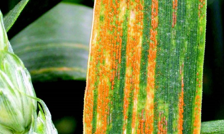 New pathotypes add further complexity to wheat rust population