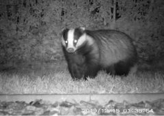 Study suggests humans transported badgers from to Ireland from Britain