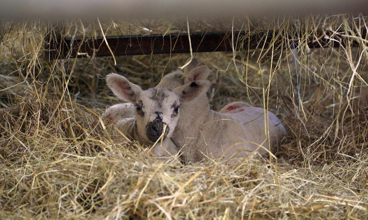 Video: Step-by-step guide on how to tube feed a newborn lamb