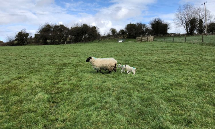 Sheep advice: How to manage tight grass supplies this spring