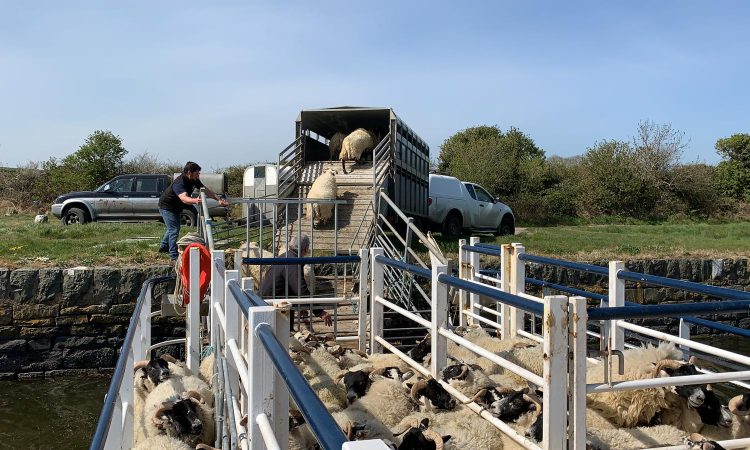 Sheep cross Strangford Lough on barge, continuing 200-year-old island farming tradition