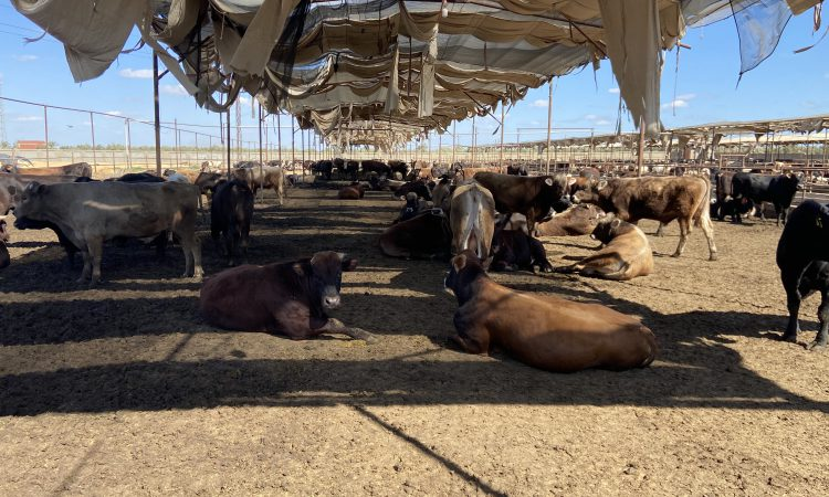 Milking hundreds of cows and finishing 2,000 Brazilian-origin bulls in Egypt