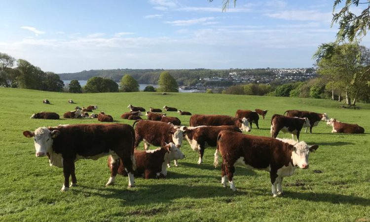 Calving interval data for beef dams in Wales for 2019 released