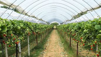 Researchers develop real-time software to tackle powdery mildew on strawberry crops