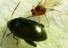 Parasitic wasp discovery offers chemical-free pest control for OSR