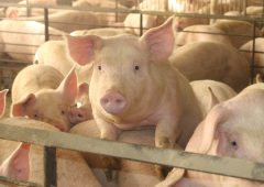 7 more cases of African swine fever reported in Germany