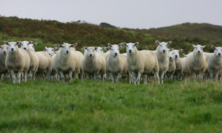 Aberdeenshire tup top of the flock in leading UK project