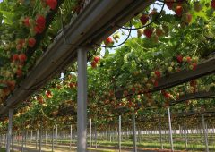 Beeswax Dyson to establish year-round British strawberry supply