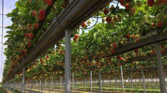 Beeswax Dyson to establish year-round British strawberry supply