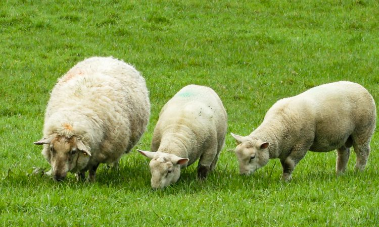 16 sheep die after falling through frozen pond in North Yorkshire