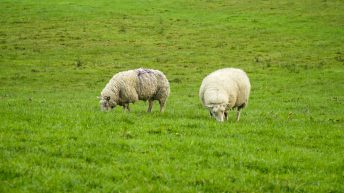 Reducing grass demand by weaning lambs and culling ewes
