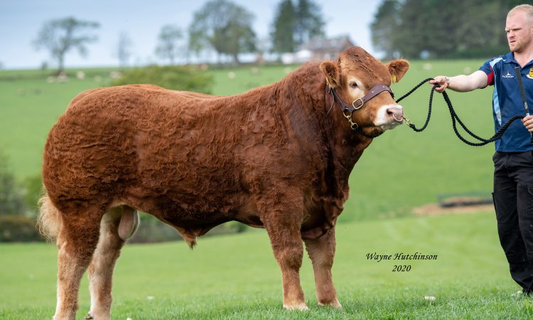 Yearling Limousin bull tops Carlisle multibreed beef sale at 8,000gns