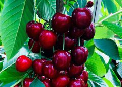UK growers expect a healthy 2020 cherry season