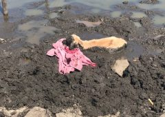 Calf stuck 'neck high' in dried up pond rescued by RSPCA