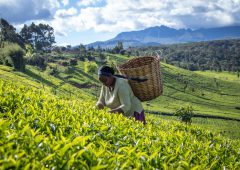 'More robust' Rainforest Alliance standard to address 'climate-smart' agriculture and child labour