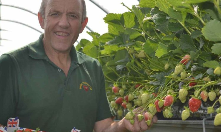 Sunniest spring on record leads to bumper crop of British strawberries