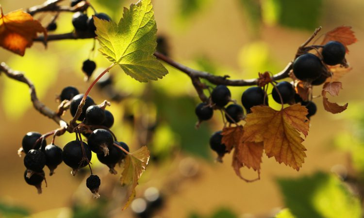 Ribena to invest £500,000 in research to develop climate-resilient blackcurrant