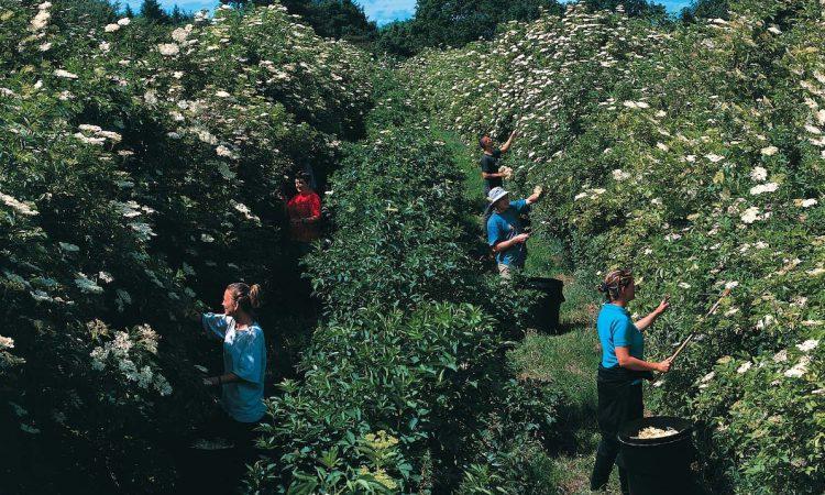 Leicestershire firm completes elderflower harvest in just 2 weeks