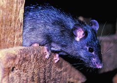 Resistant 'super rats' are breeding in the UK