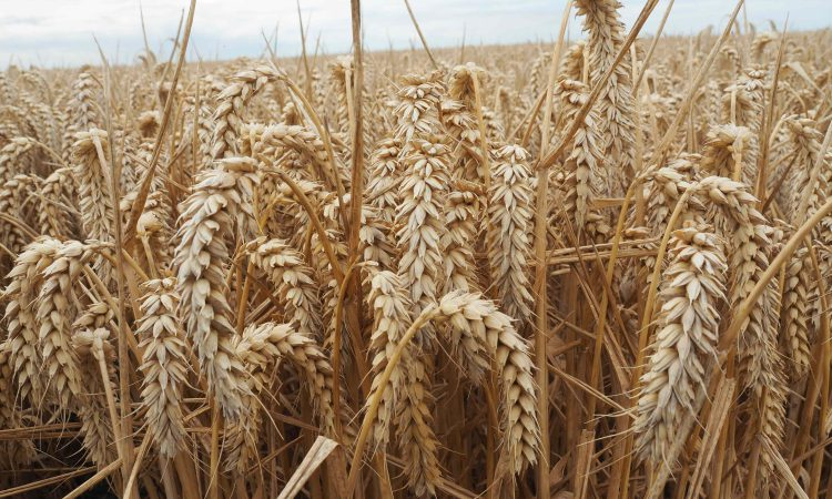 Global wheat production forecast down, but surplus remains