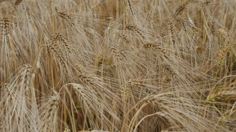 UK winter barley harvest update from 'challenging season'