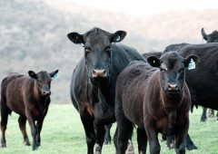 Appeal for info following theft of Angus and Friesian calves