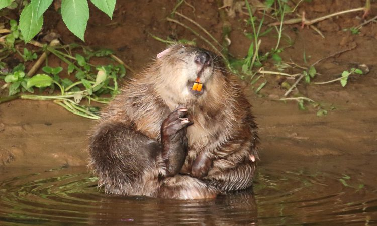 Defra to draw up national beaver reintroduction plan following 5-year trial