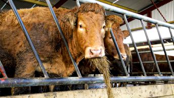 BVA calls for government to improve the welfare of animals at slaughter