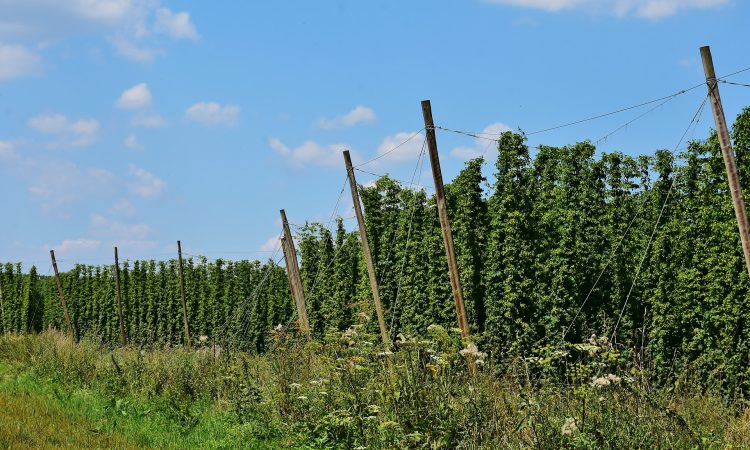 Hop growers left questioning their viability after drop in demand due to Covid-19