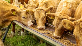 Producing quality meat on home-grown feeds