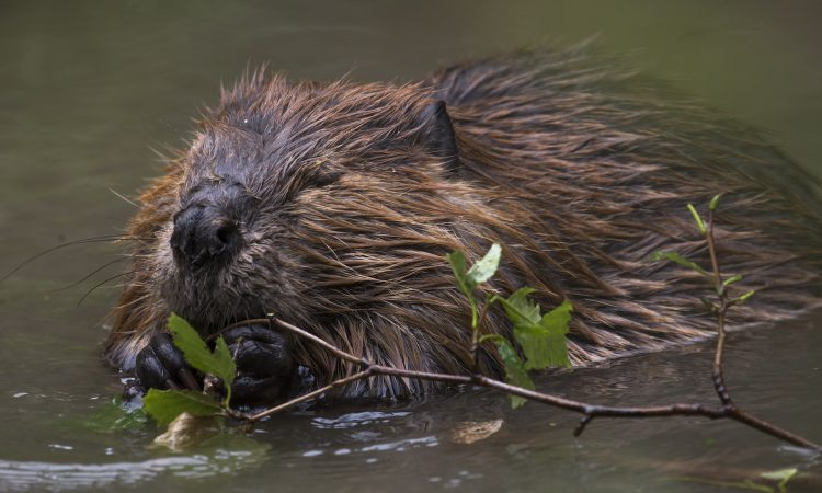 Release of beavers a 'short-sighted' move – FUW
