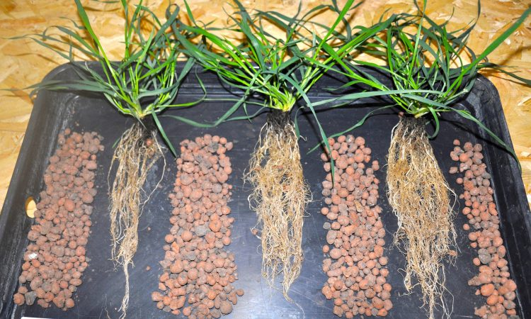Root and yield-boosting seed treatment gains UK approval for spring wheat