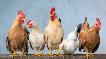 Avian Influenza Prevention Zone declared in Great Britain