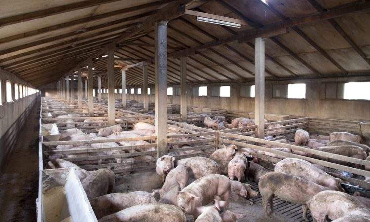 Poots offers Covid-19 financial support to the NI pig sector